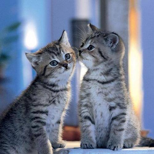 Kissing Kitties !