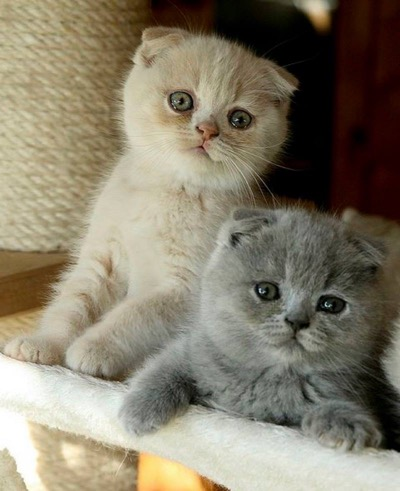 OMG! These Scottish Fold #kitties are toooo adorable !!