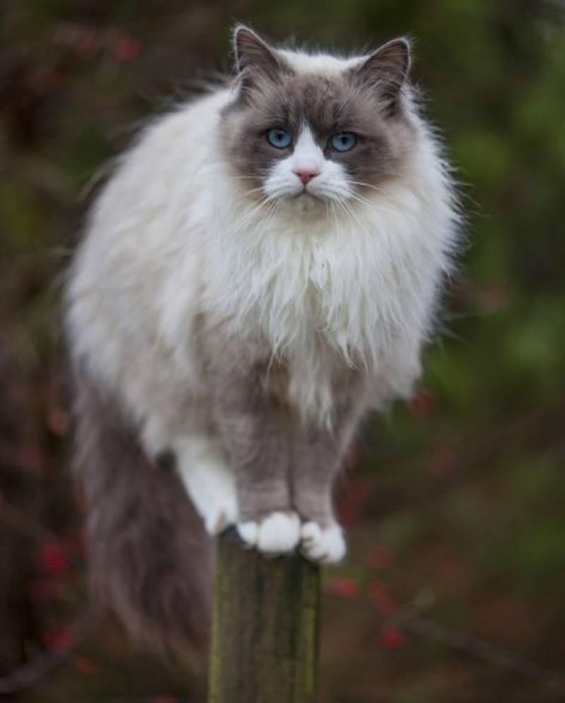 Ragdoll cat!