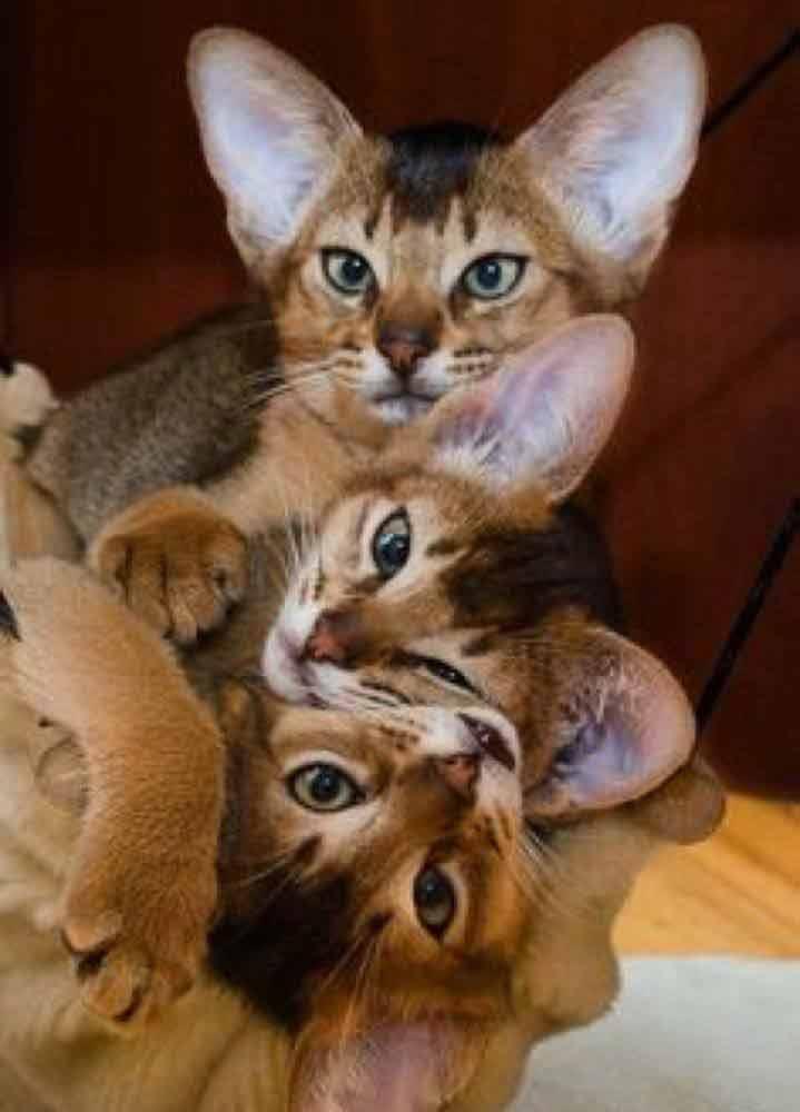 Abyssinian-kittens