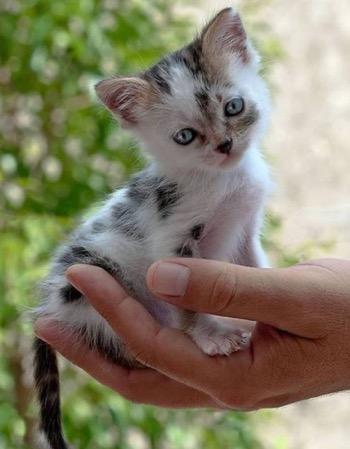 dalmatian cat?