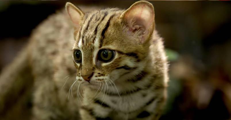 Worlds Smallest Cat Video