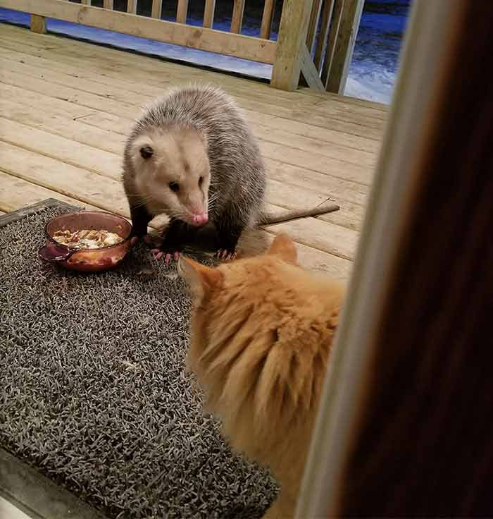 Possum Eating Your Cats Food