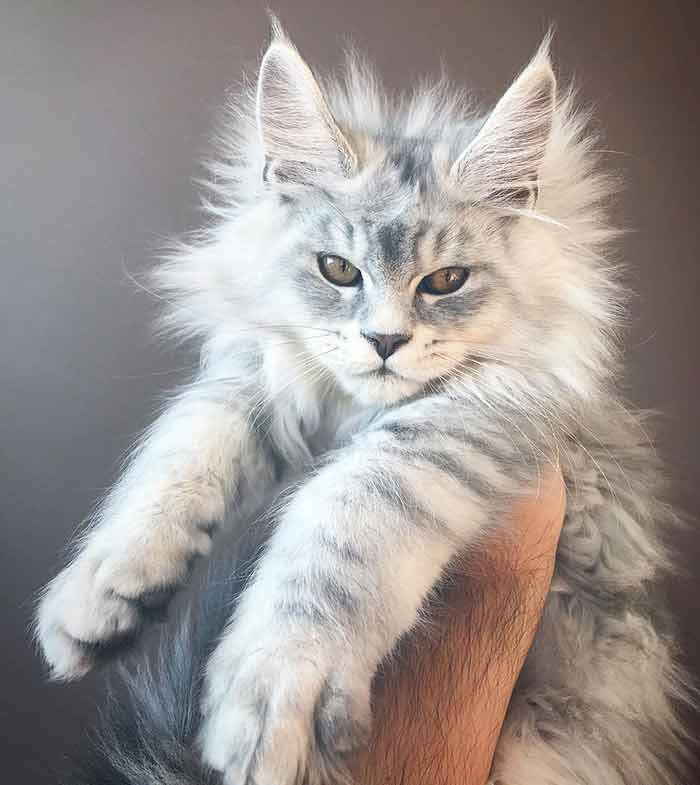 18 Maine Coon Kittens Waiting To Grow Up Into Giants - We