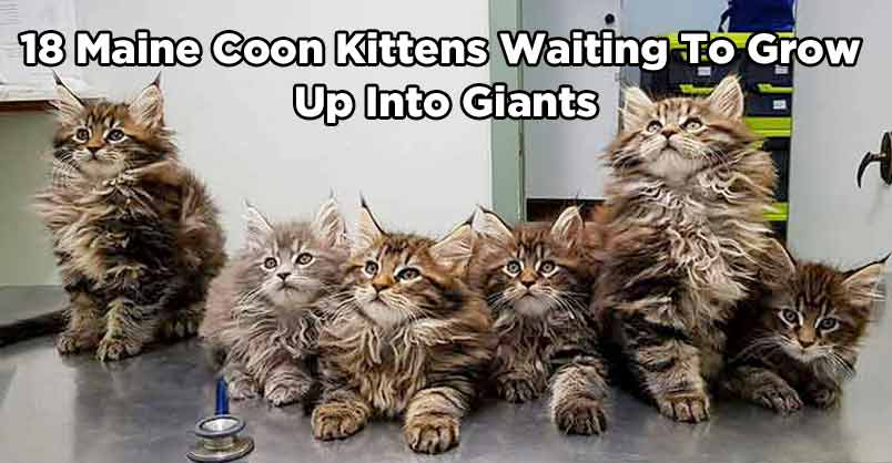 18 Maine Coon Kittens Waiting To Grow Up Into Giants - We Love Cats