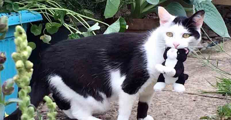 Tuxedo Cat Loves To Take Her Toys On Adventures