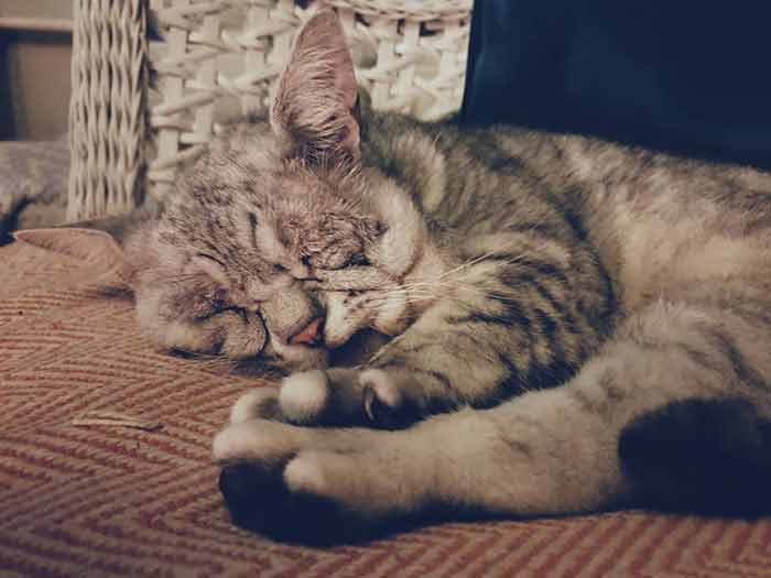 toby 10 Cat With Ehlers-Danlos Syndrome Finally Finds Forever Home