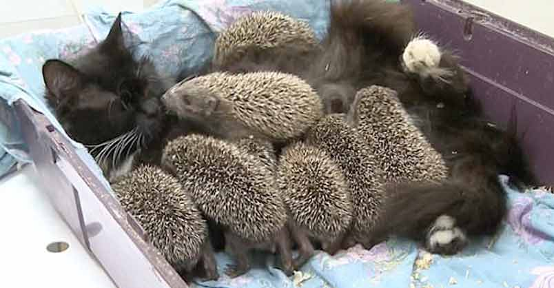 baby-hedgehogs
