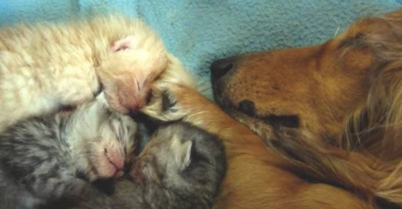 Blind Dog Adopts Orphaned Kittens And Raises Them As Her Own