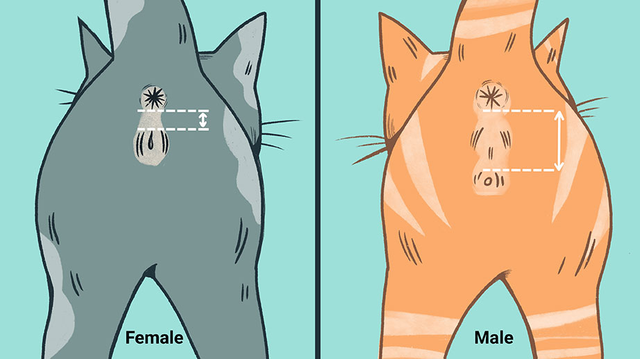 how to sex a kitten by color