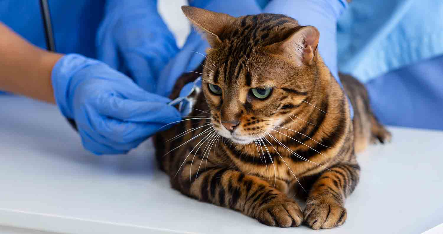 hypertrophic-cardiomyopathy-in-cats