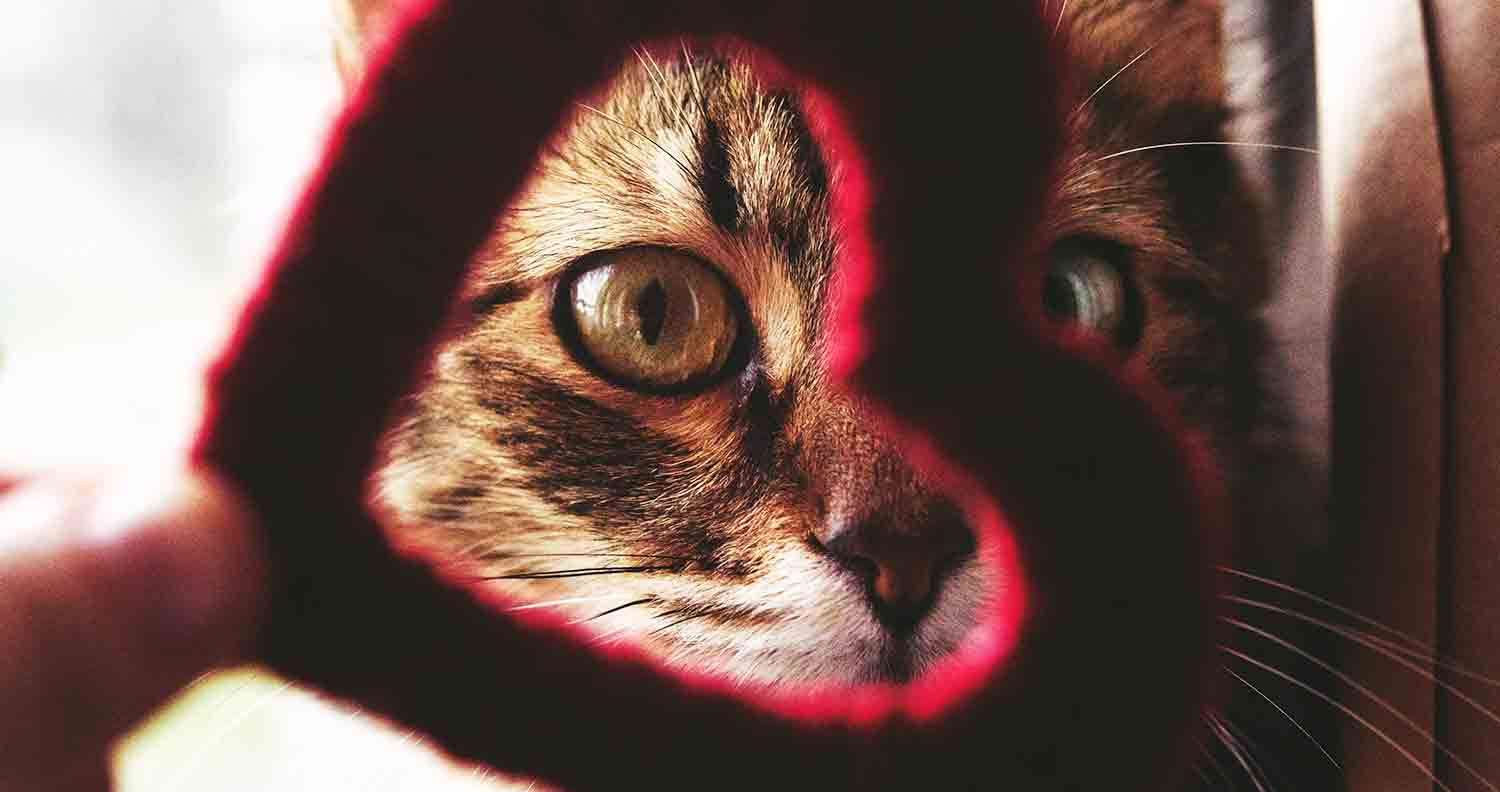 hypertrophic cardiomyopathy in cats