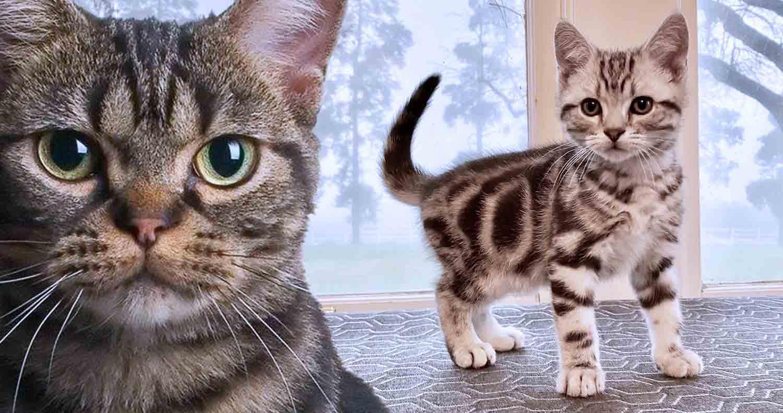 cat-breed-american-shorthair