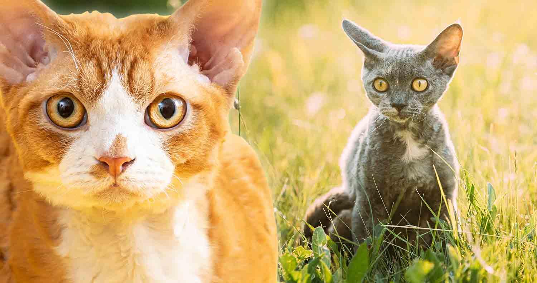 cat-breed-devon-rex