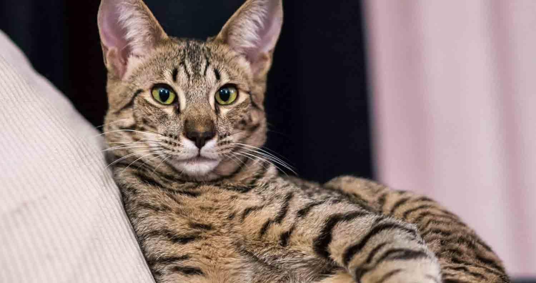 savannah-cat-health