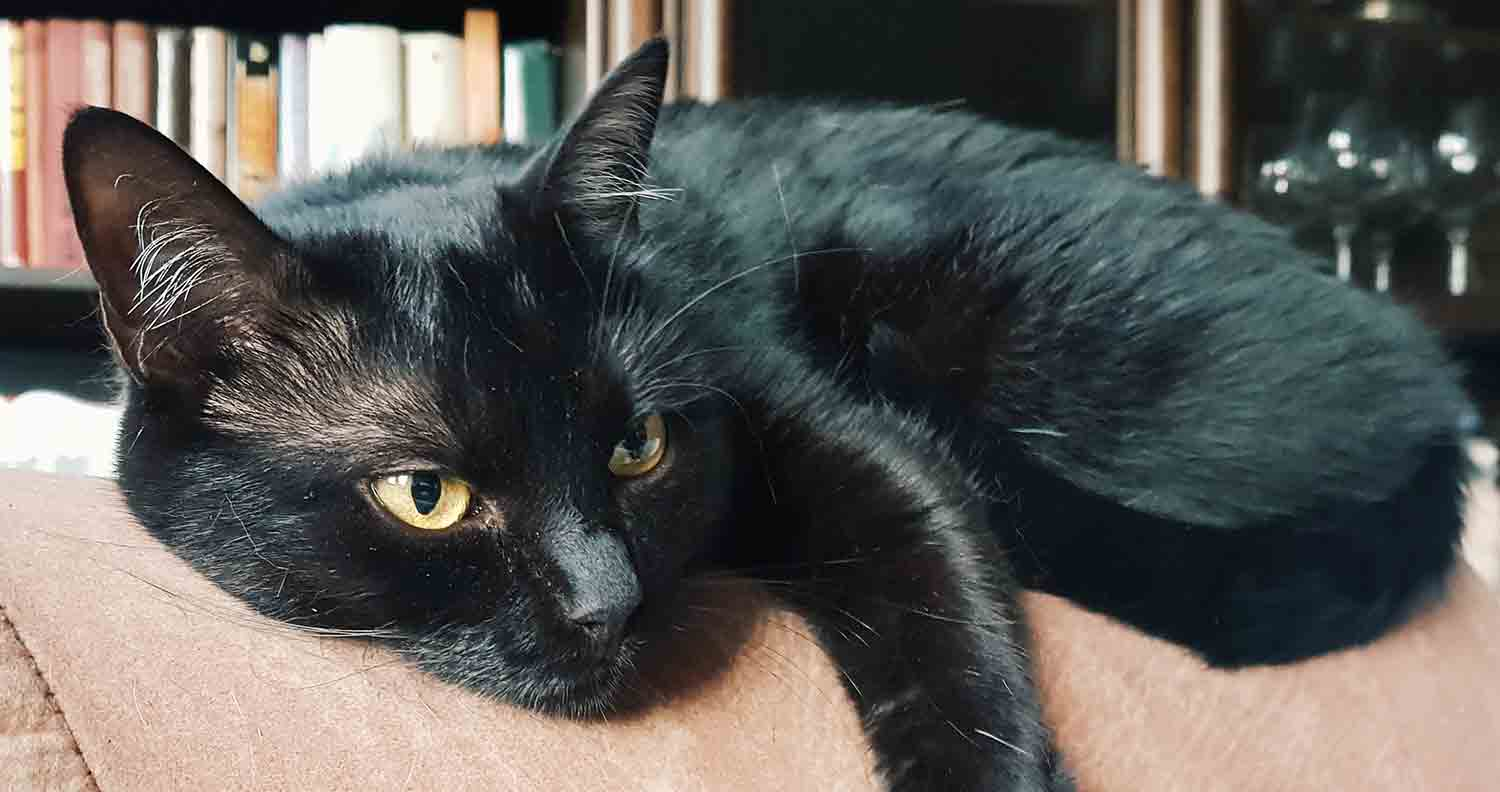 bombay-cat-health-issues