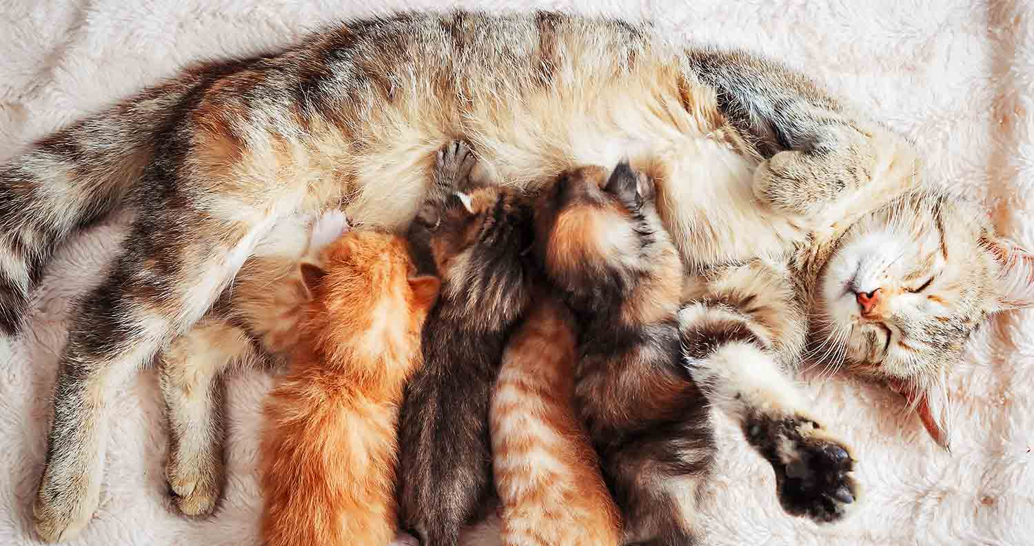 how-to-tell-if-cat-is-pregnant