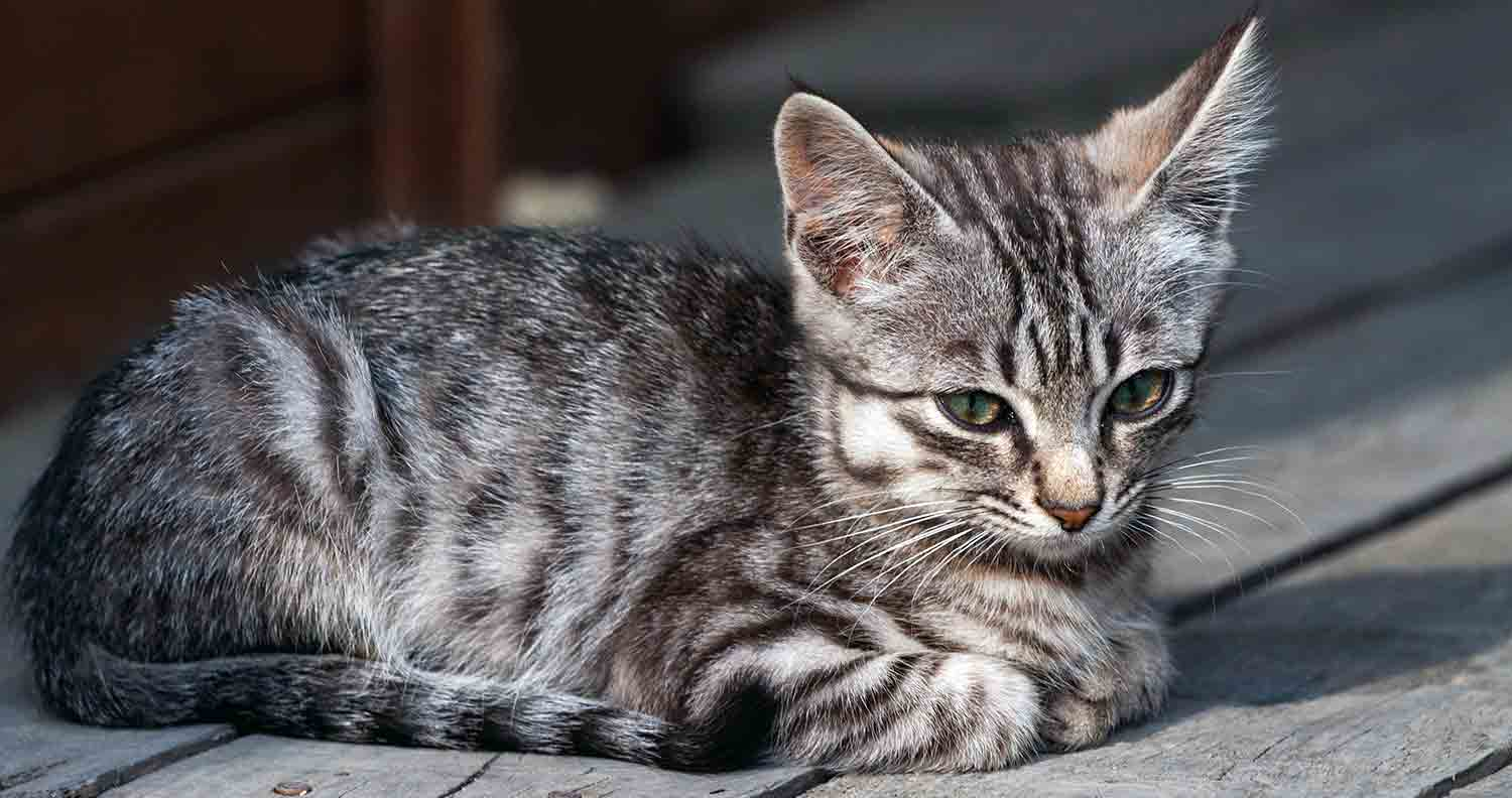 symptoms-of-cancer-in-cats