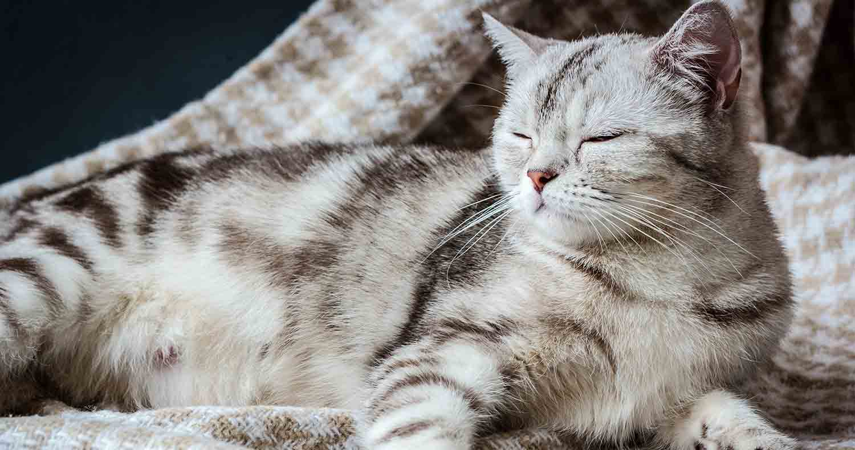 pregnant-cat-relaxing