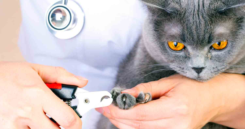 grey cat getting claws cut back